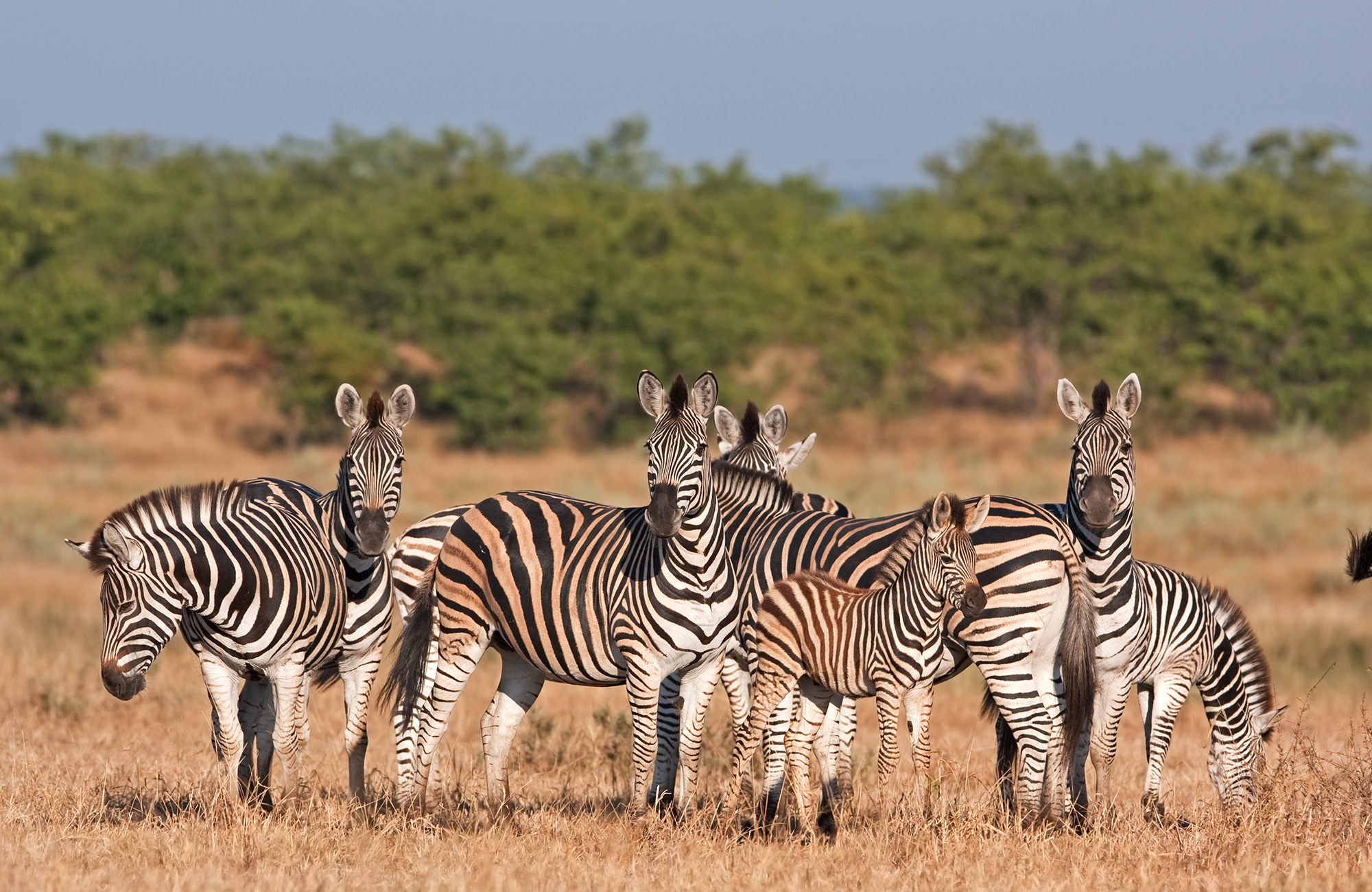Zebra's in het Kruger National Park