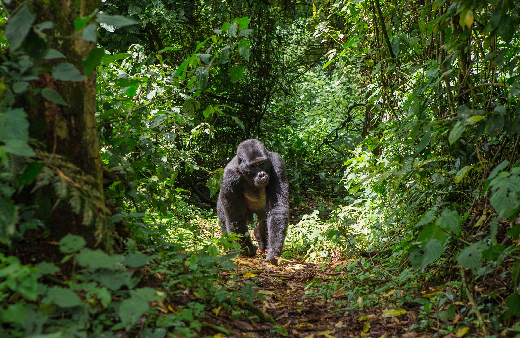 Gorilla in het Bwindi Impenetrable National Park